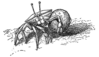 Uca rathbunæ carrying a load from her burrow thumbnail