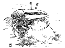 Fiddler crab creating a mud plug thumbnail