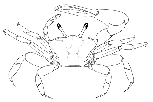 dorsal view of crab image