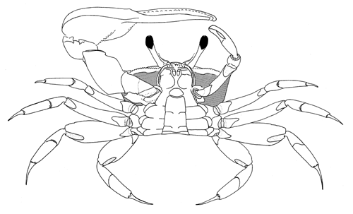 ventral view of crab image